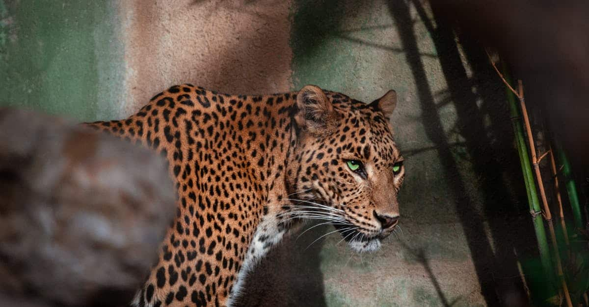 A cat that is standing in front of a leopard